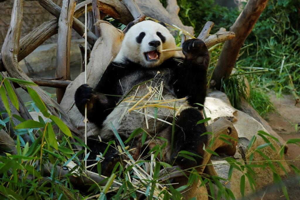 Los dos últimos osos panda gigantes irán a China