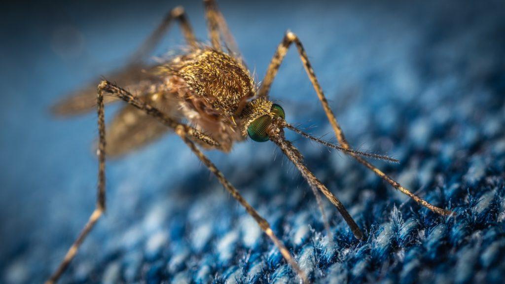 Liberan Mosquitos estériles para eliminar la malaria