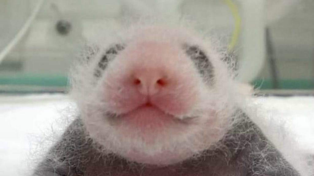Panda gigante nace en zoológico de Corea del Sur