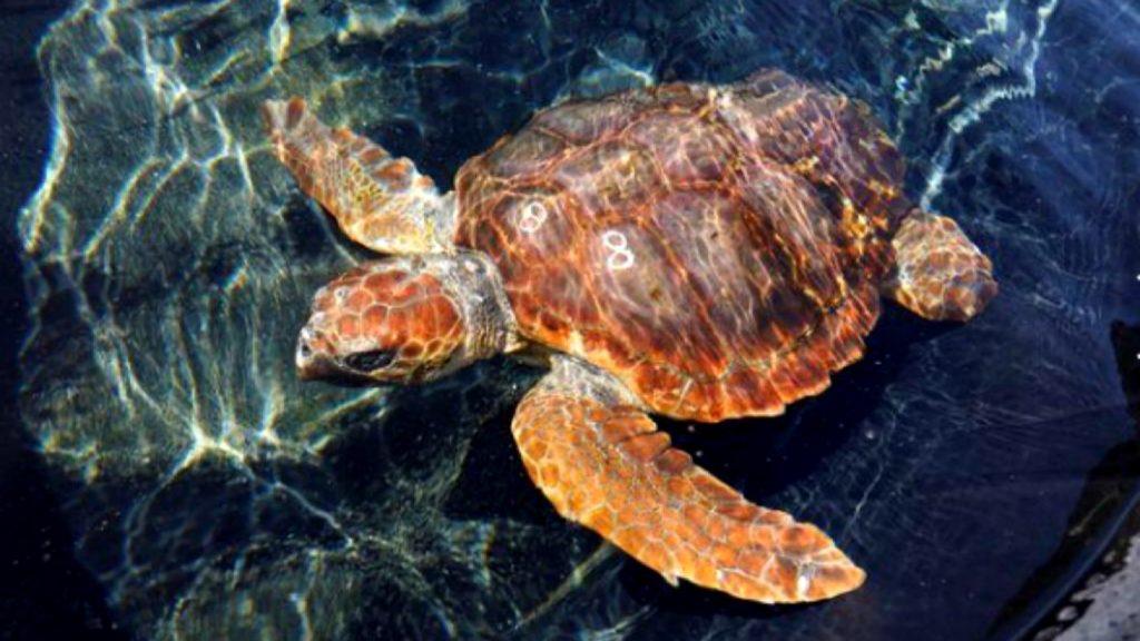 Tortuga vuelve al mar luego de meses de recuperación