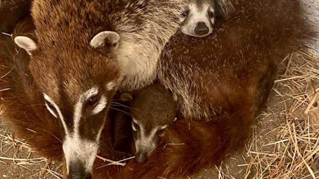 Crías de Coatíes son presentados en el Zoo